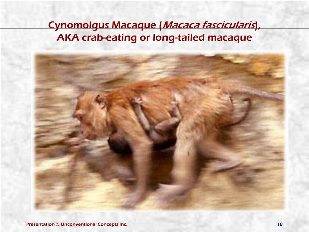 Cynomolgus Macaque (