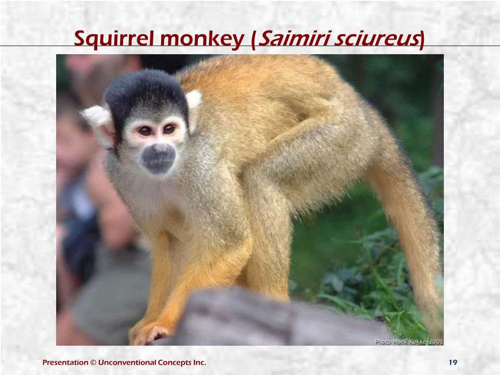Squirrel monkey (