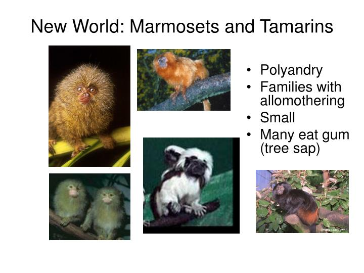 New World: Marmosets and Tamarins