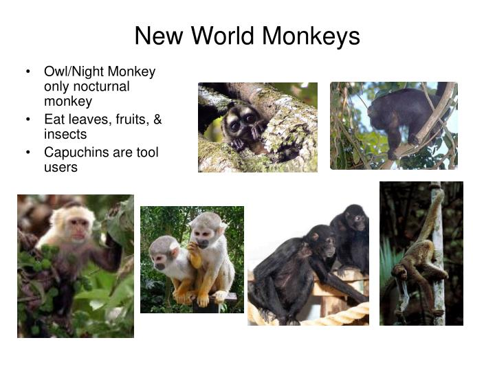 New World Monkeys