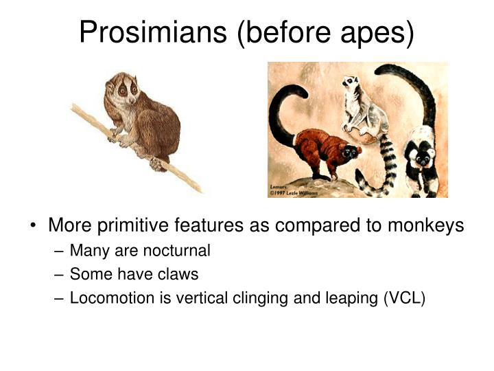 Prosimians before apes