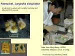 fatmucket lampsilis siliquoidea