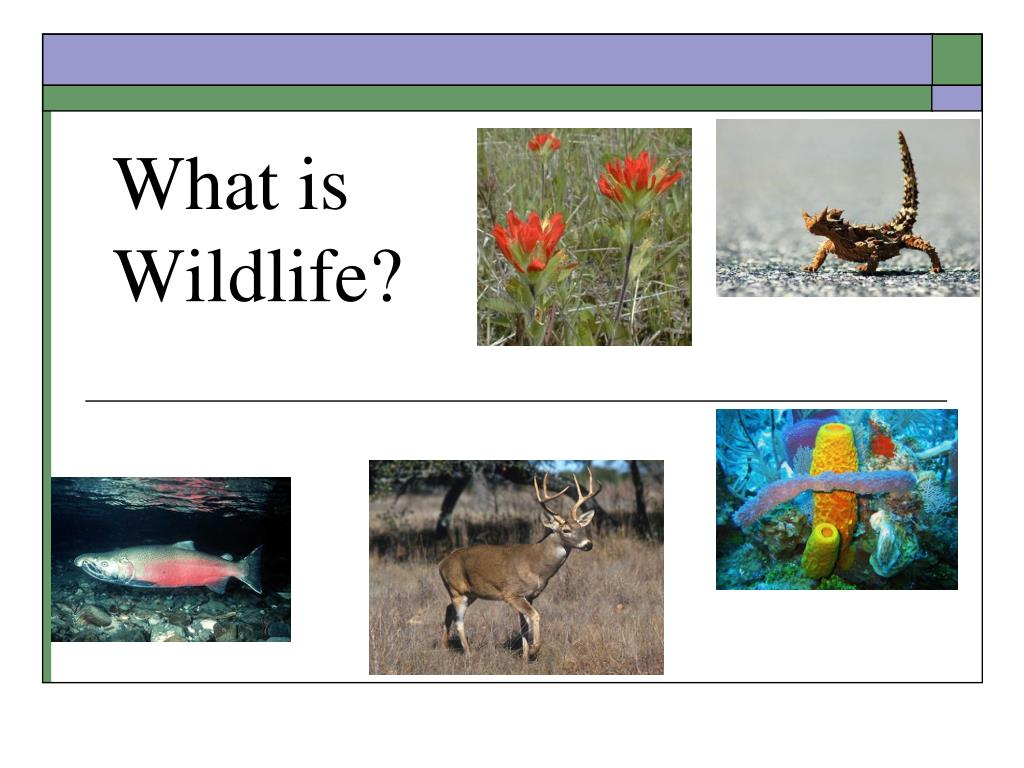 What is Wildlife?