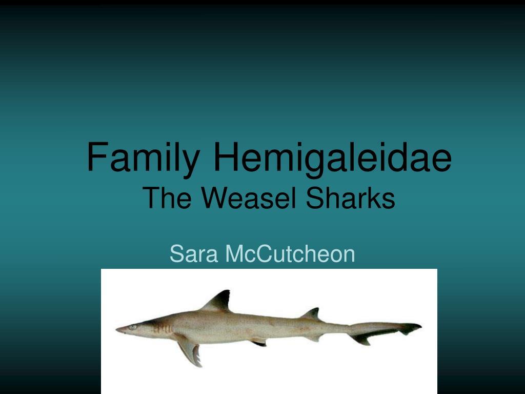 family hemigaleidae the weasel sharks