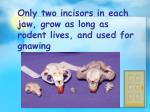 only two incisors in each jaw grow as long as rodent lives and used for gnawing