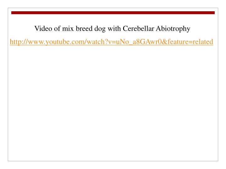 Video of mix breed dog with Cerebellar Abiotrophy