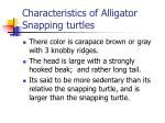 characteristics of alligator snapping turtles
