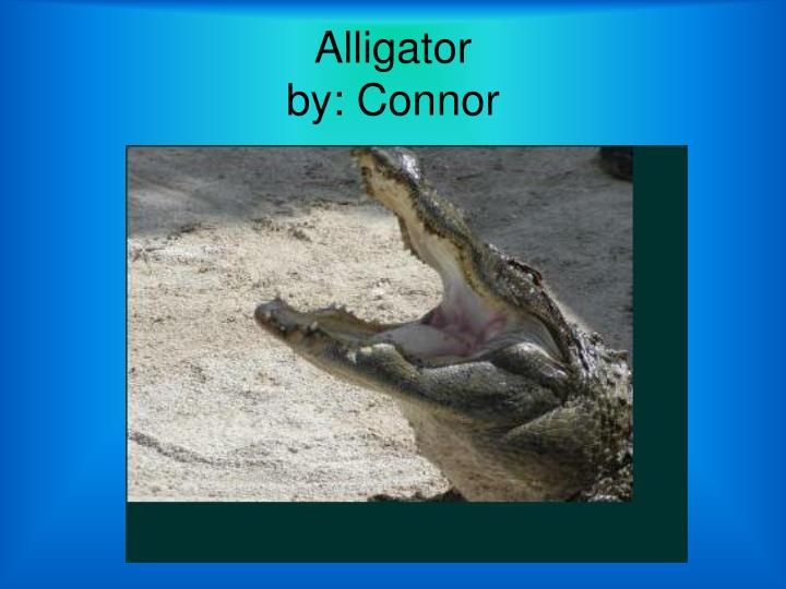 Alligator by connor