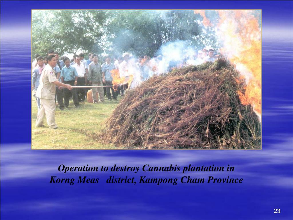 Operation to destroy Cannabis plantation in Korng Meas   district, Kampong Cham Province