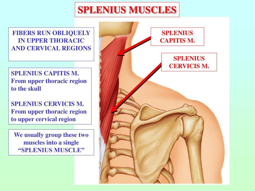 SPLENIUS MUSCLES