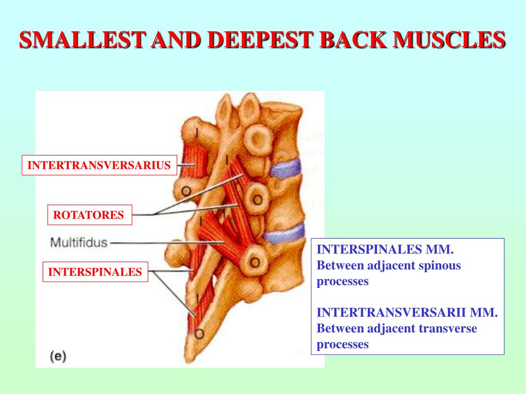 SMALLEST AND DEEPEST BACK MUSCLES