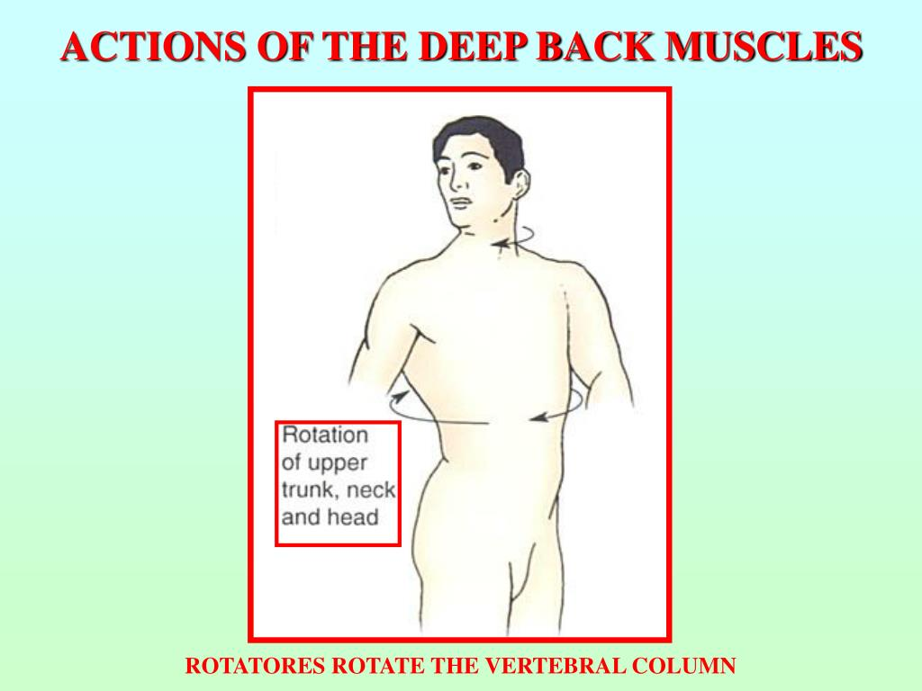 ACTIONS OF THE DEEP BACK MUSCLES
