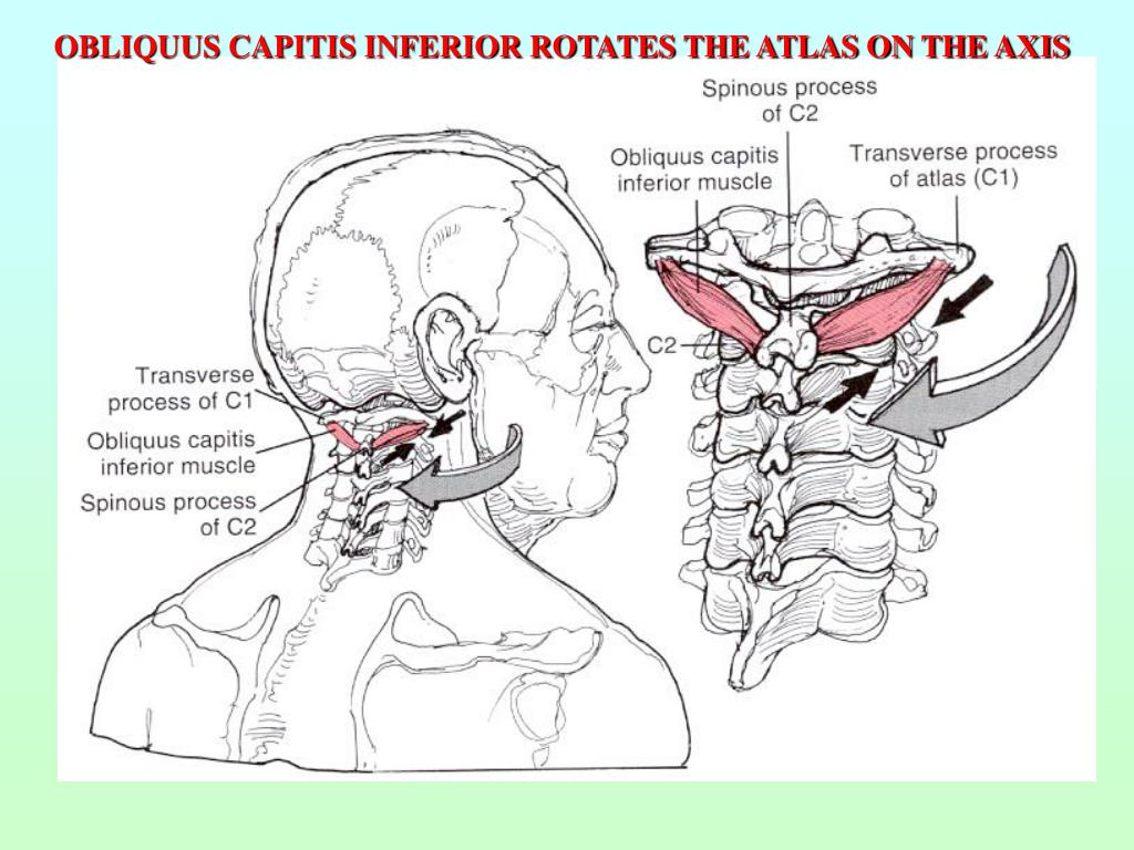 OBLIQUUS CAPITIS INFERIOR ROTATES THE ATLAS ON THE AXIS