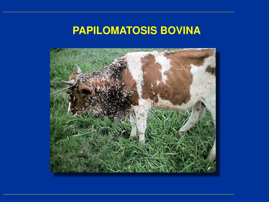 Que es papilomatosis bovina