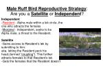 male ruff bird reproductive strategy are you a satellite or independen t