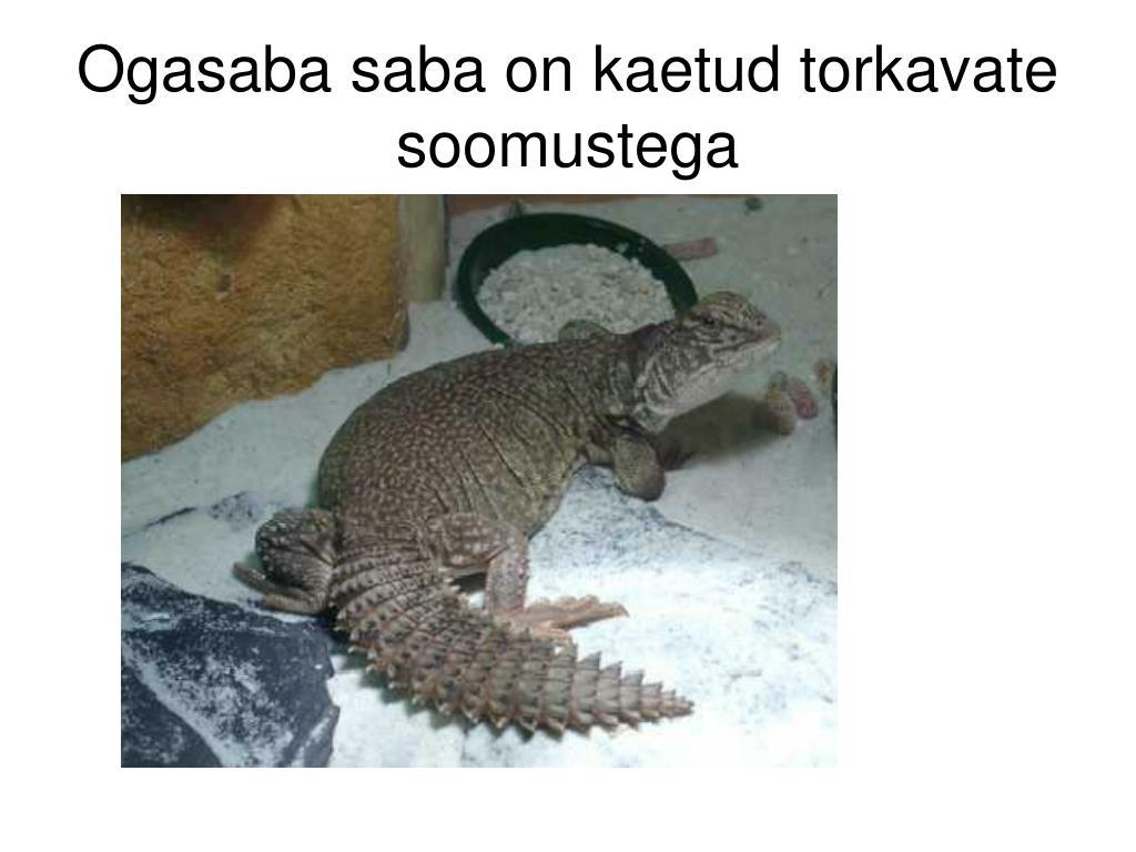 Ogasaba saba on kaetud torkavate soomustega