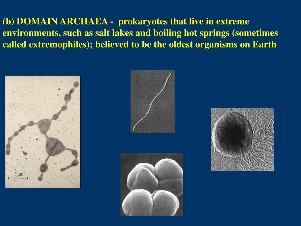 (b) DOMAIN ARCHAEA -  prokaryotes that live in extreme environments, such as salt lakes and boiling hot springs (sometimes called extremophiles); believed to be the oldest organisms on Earth