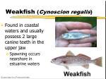weakfish cynoscion regalis