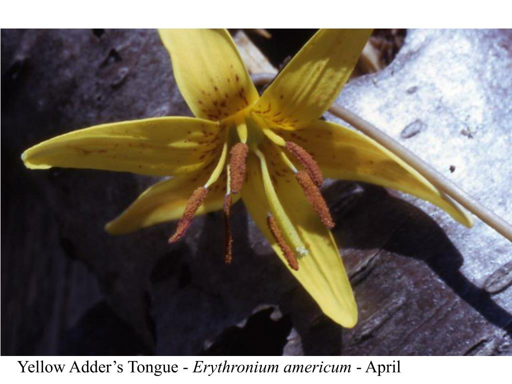 Yellow Adder's Tongue -
