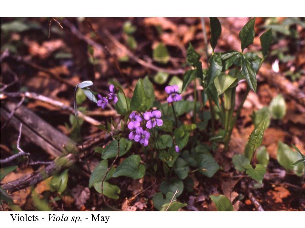 Violets -