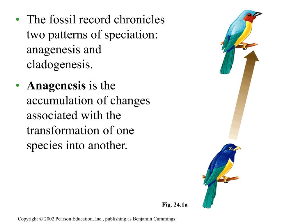 The fossil record chronicles two patterns of speciation: anagenesis and cladogenesis.