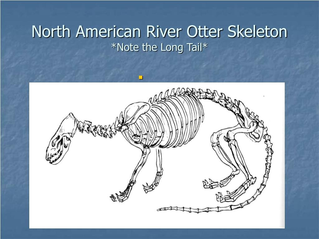 North American River Otter Skeleton