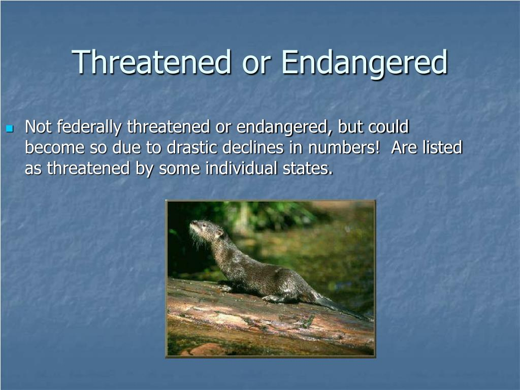 Not federally threatened or endangered, but could become so due to drastic declines in numbers!  Are listed as threatened by some individual states.