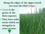 along the edges of the upper marsh you may also find sedges