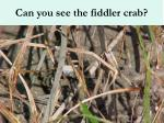 can you see the fiddler crab