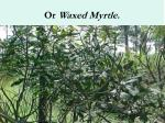 or waxed myrtle