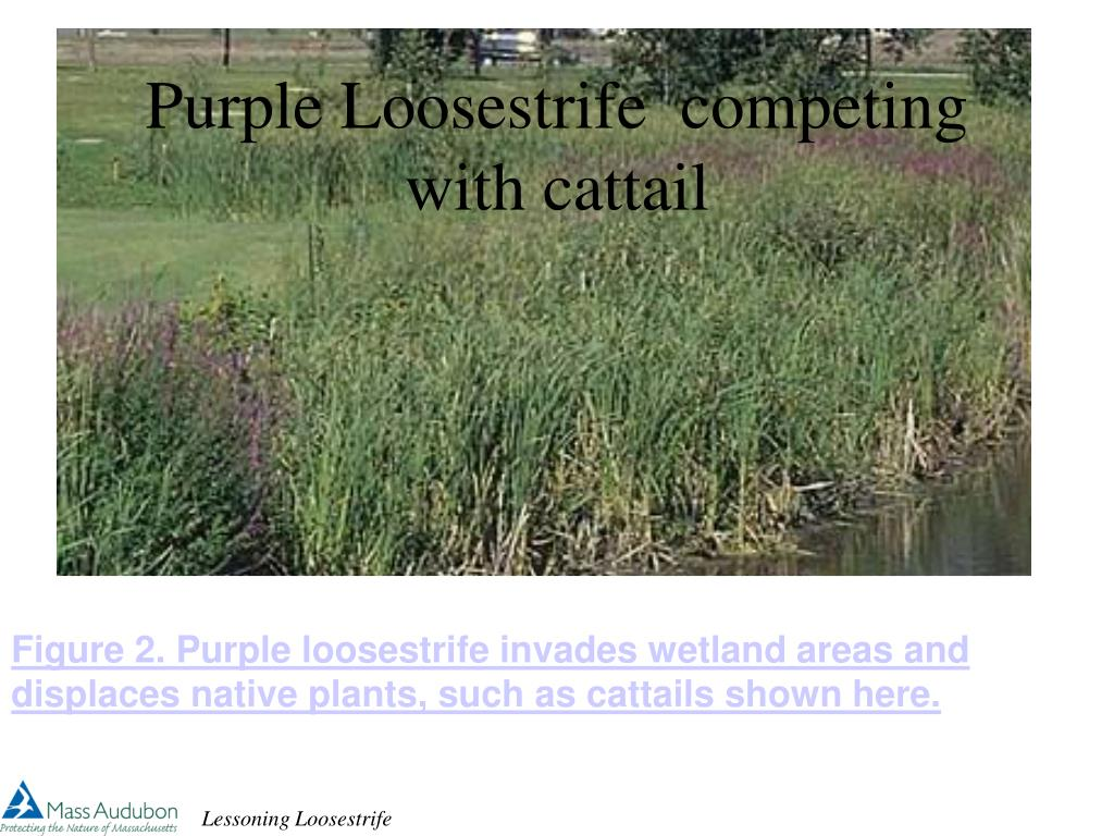 purple loosestrife competing with cattail l.