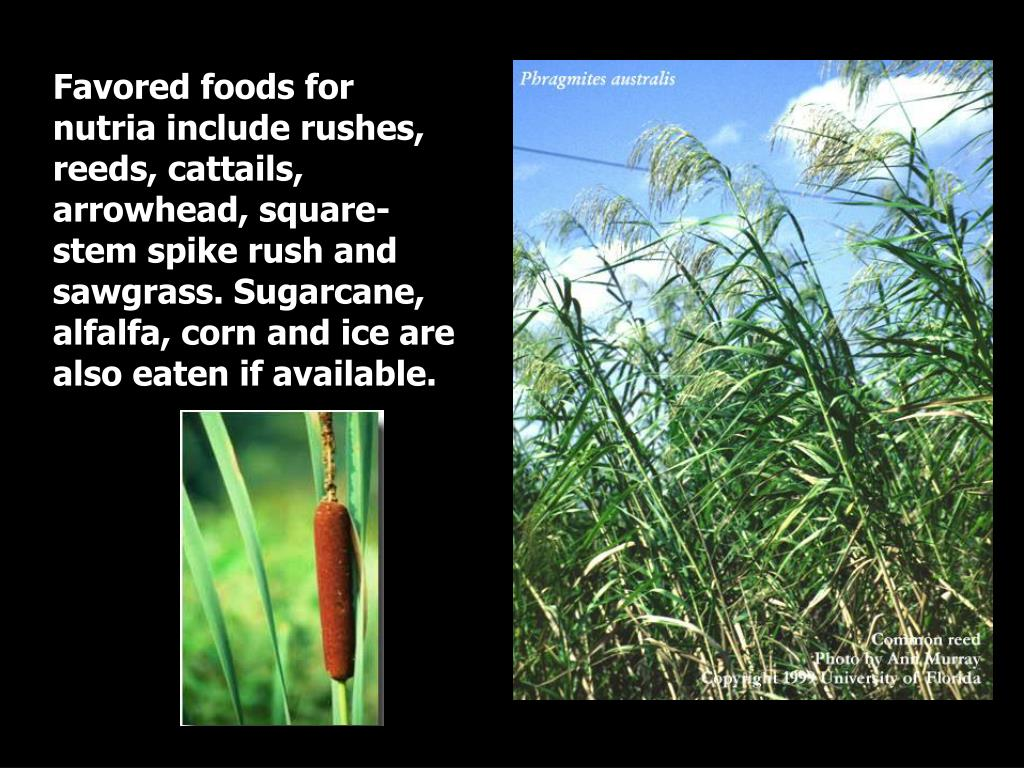 Favored foods for nutria include rushes, reeds, cattails, arrowhead, square-stem spike rush and sawgrass. Sugarcane, alfalfa, corn and ice are also eaten if available.