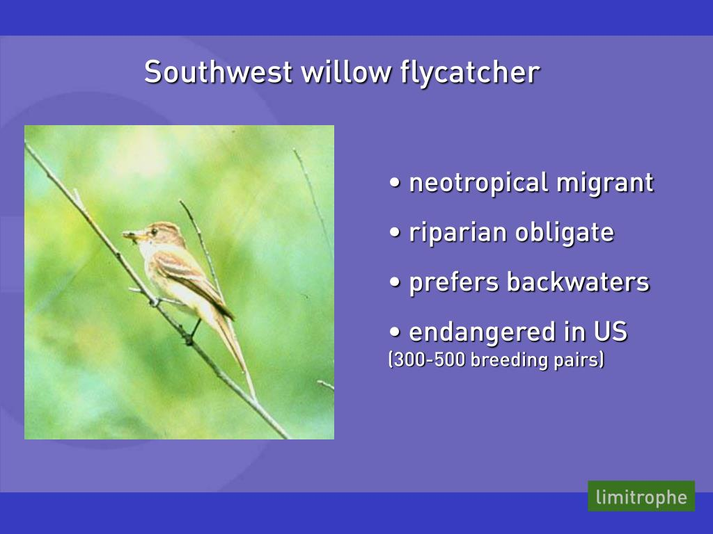 Southwest willow flycatcher