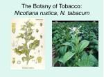 the botany of tobacco nicotiana rustica n tabacum