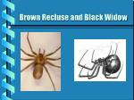 brown recluse and black widow