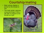 courtship mating