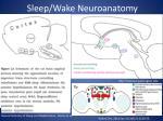 sleep wake neuroanatomy