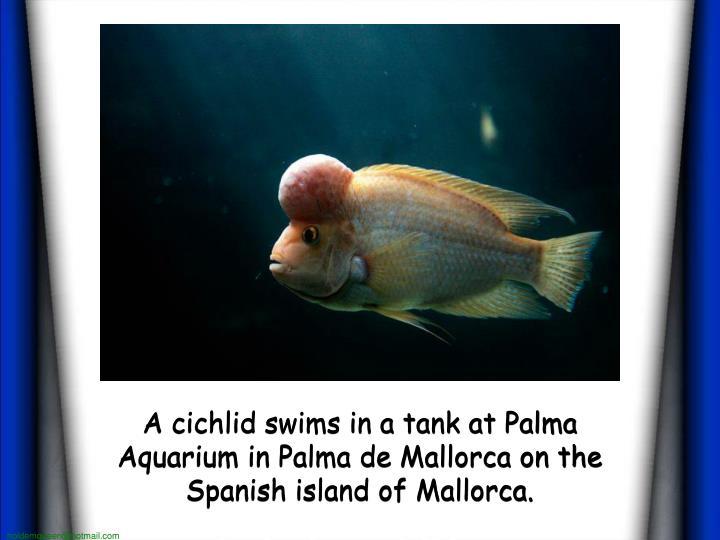 A cichlid swims in a tank at Palma Aquarium in Palma de Mallorca on the Spanish island of Mallorca.