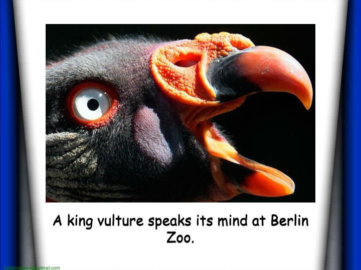 A king vulture speaks its mind at berlin zoo