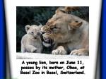 a young lion born on june 11 passes by its mother okoa at basel zoo in basel switzerland