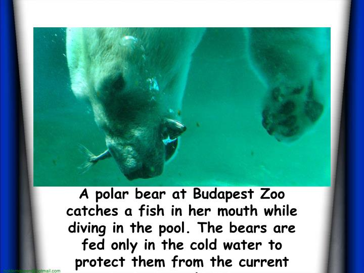 A polar bear at Budapest Zoo catches a fish in her mouth while diving in the pool. The bears are fed...