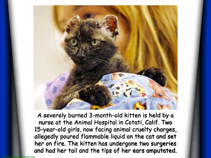 A severely burned 3-month-old kitten is held by a nurse at the Animal Hospital in Cotati, Calif. Two 15-year-old girls, now facing animal cruelty charges, allegedly poured flammable liquid on the cat and set her on fire. The kitten has undergone two surgeries and had her tail and the tips of her ears amputated.