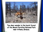 two deer wander in the burnt forest of the mount parnitha national park near athens greece