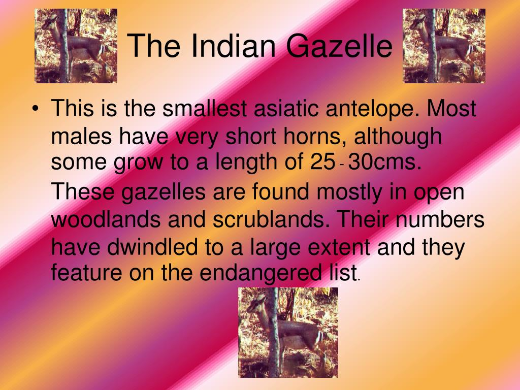 The Indian Gazelle