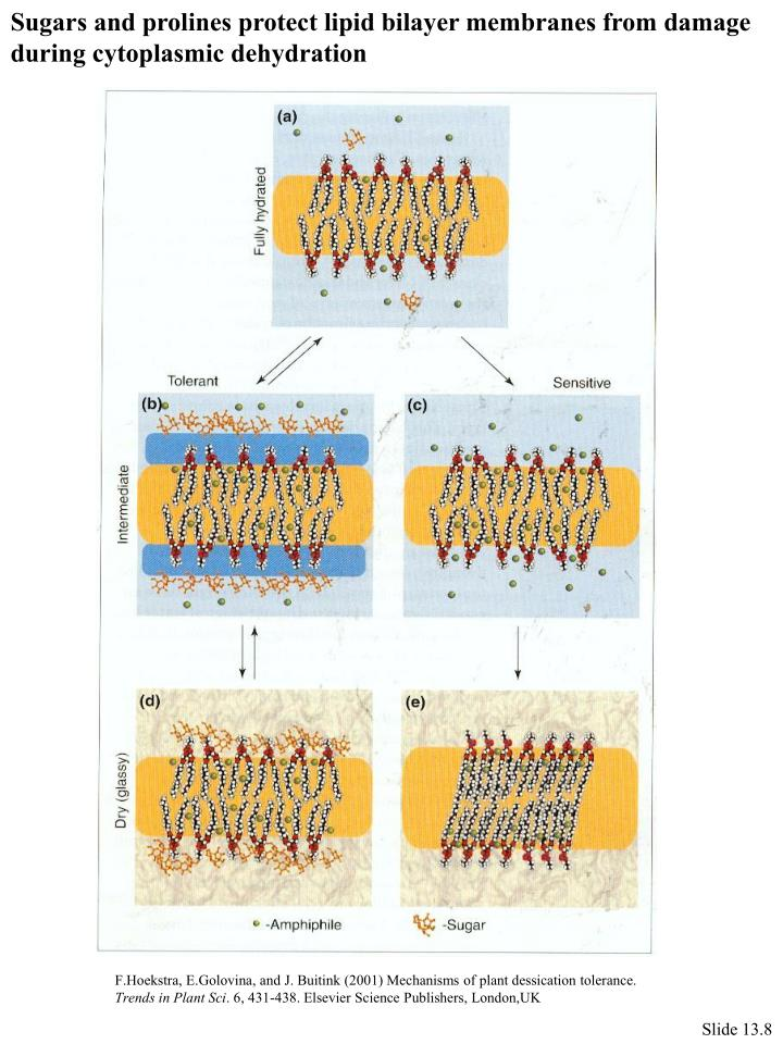 Sugars and prolines protect lipid bilayer membranes from damage
