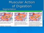 muscular action of digestion
