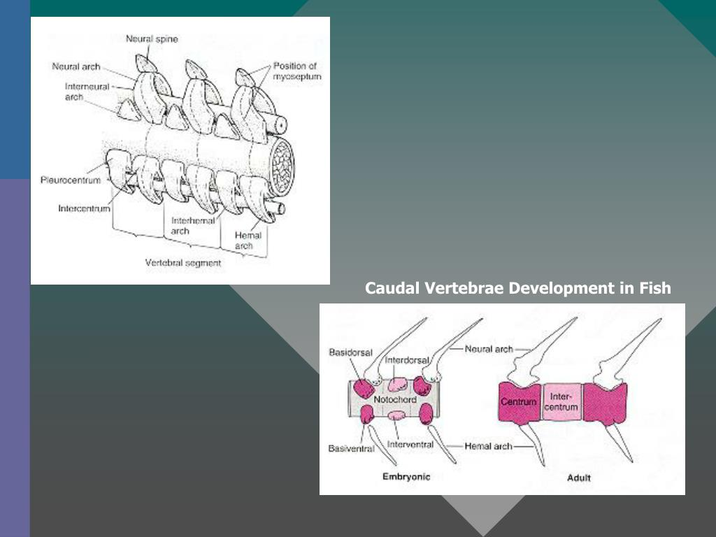 Caudal Vertebrae Development in Fish