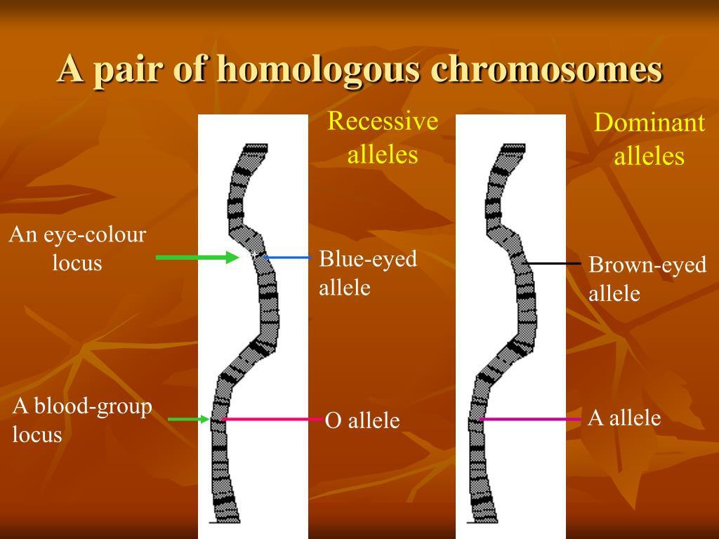 A pair of homologous chromosomes