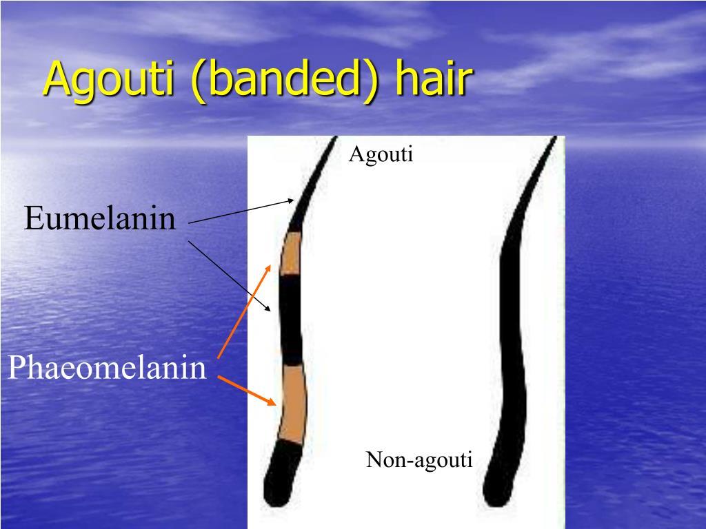 Agouti (banded) hair