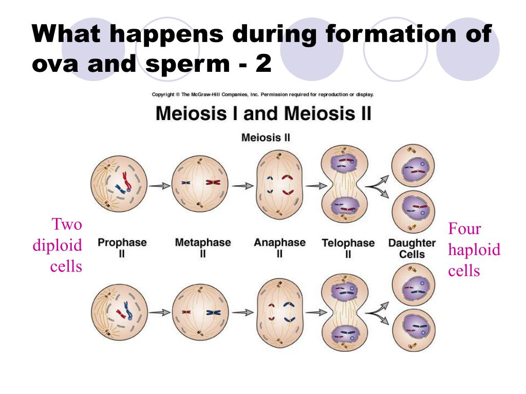 What happens during formation of ova and sperm - 2